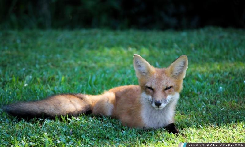 Jolie Red Fox, Arrière-plans HD à télécharger