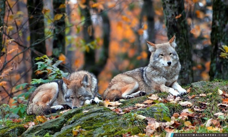 Wolfs, Arrière-plans HD à télécharger