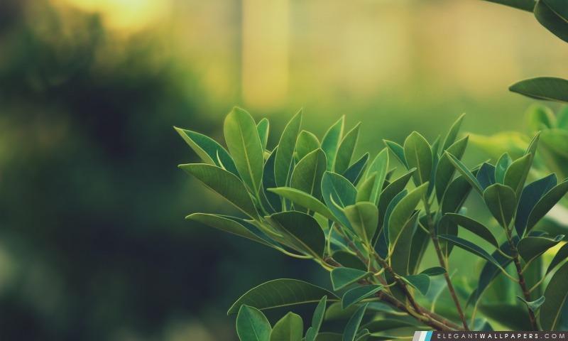 Ficus Feuilles, Arrière-plans HD à télécharger