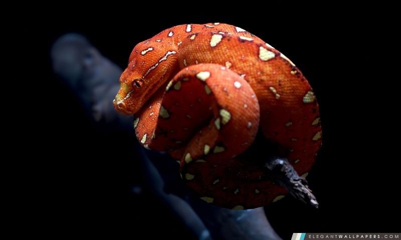 Serpent orange, Arrière-plans HD à télécharger