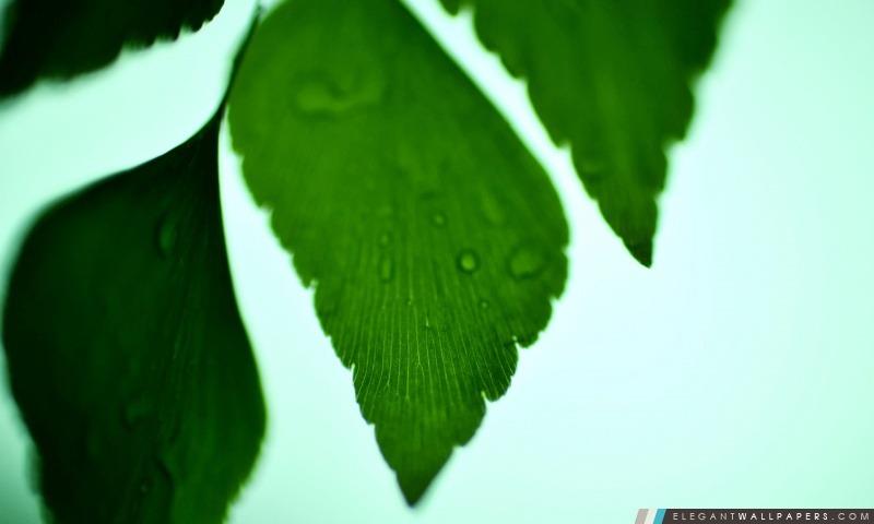 Adiantum macrophylla, Arrière-plans HD à télécharger