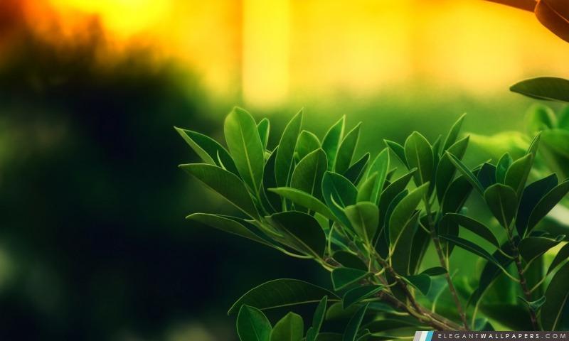 Ficus Green Leaves, Arrière-plans HD à télécharger