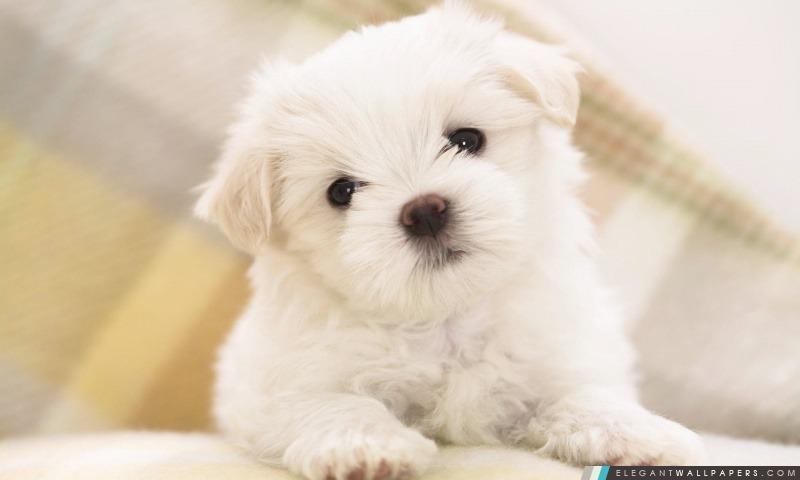 Blanc Fluffy chiot, Arrière-plans HD à télécharger