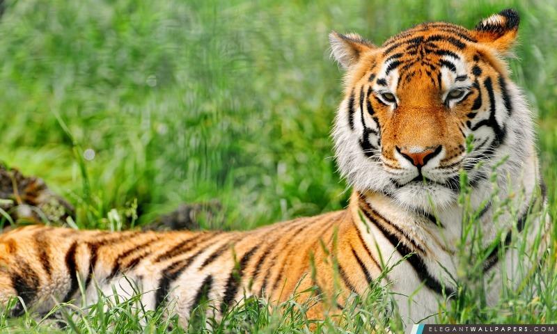 Tiger repos, Arrière-plans HD à télécharger