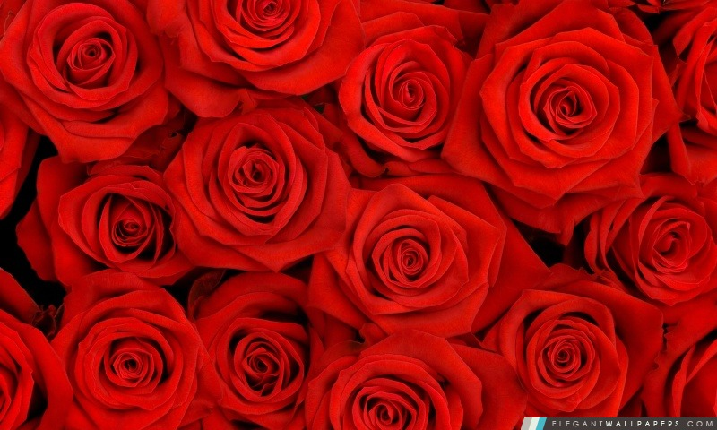 fond d'ecran rose rouge