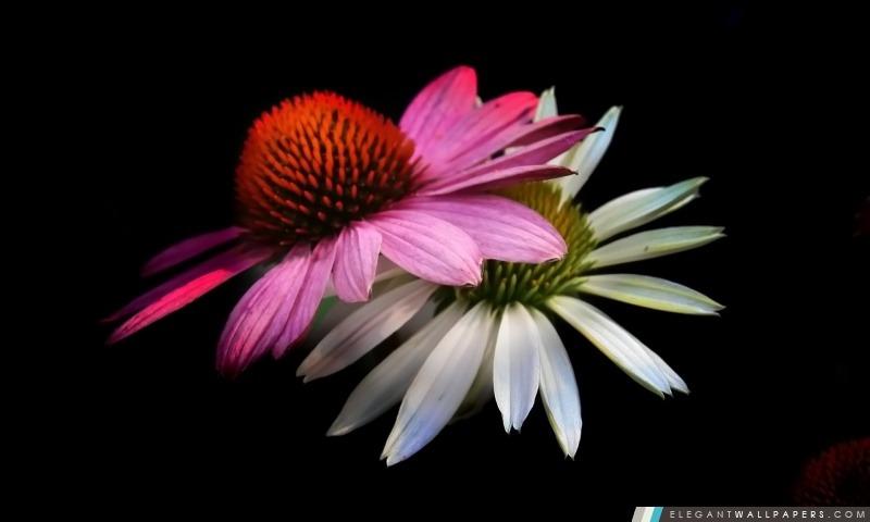 c u00f4ne fleurs  fond noir  fond d u0026 39  u00e9cran hd  u00e0 t u00e9l u00e9charger