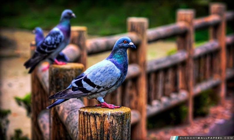 Pigeons, Arrière-plans HD à télécharger