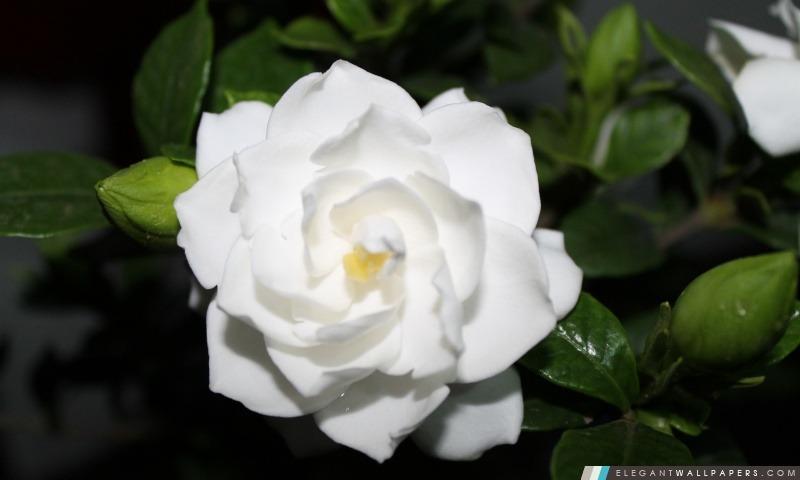 fleur blanche fond d 39 cran hd t l charger elegant wallpapers. Black Bedroom Furniture Sets. Home Design Ideas