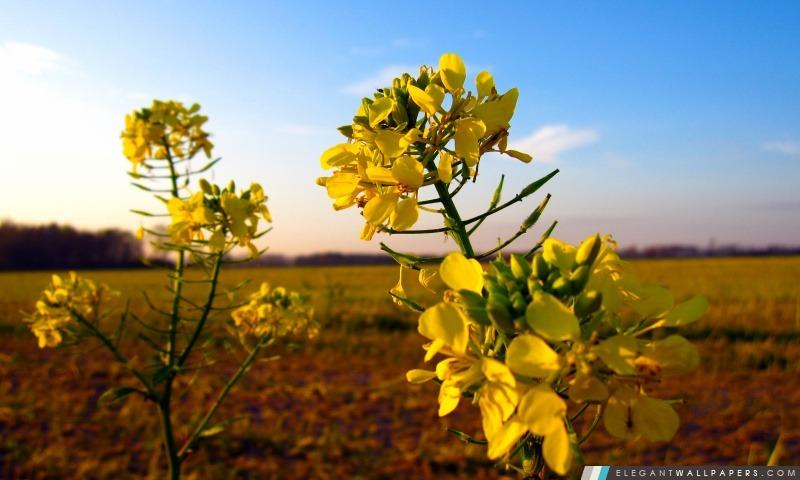 Moutarde sauvage Fleur, Arrière-plans HD à télécharger