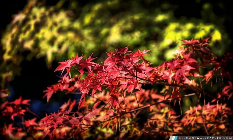 Feuilles d'érable, automne, Japon, Arrière-plans HD à télécharger