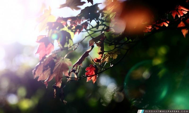 Feuilles d'érable rouge, Arrière-plans HD à télécharger