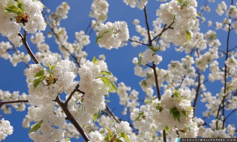 Blanc Japonais De Fleurs De Cerisier Fond D Ecran Hd A Telecharger