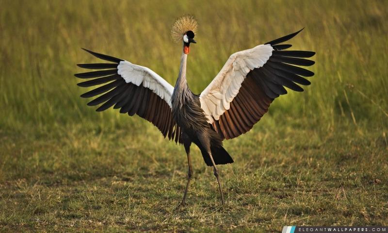 Grue Couronnée Africaine Masai Mara Au Kenya Fond Décran Hd à