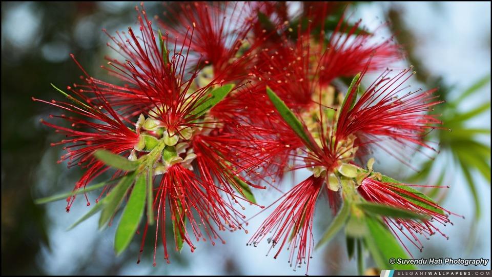 Fleur Rouge. Fond D'écran HD à Télécharger