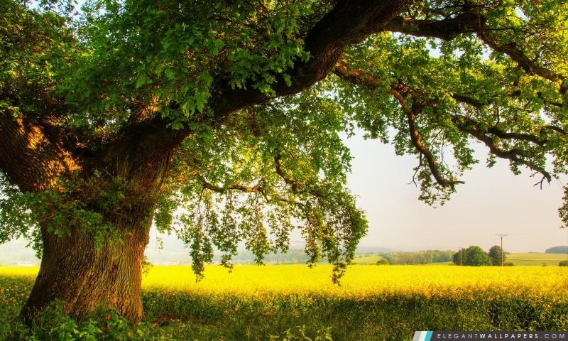 Oak Tree, Arrière-plans HD à télécharger