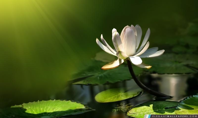 Fleur de Lotus blanc, Arrière-plans HD à télécharger