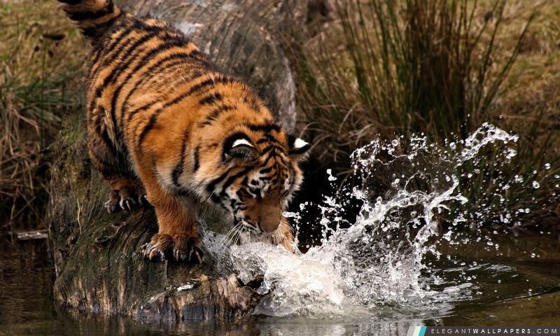Tigre jouant avec de l'eau, Arrière-plans HD à télécharger