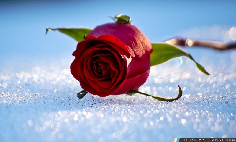 Rose Sur La Neige, Arrière-plans HD à télécharger