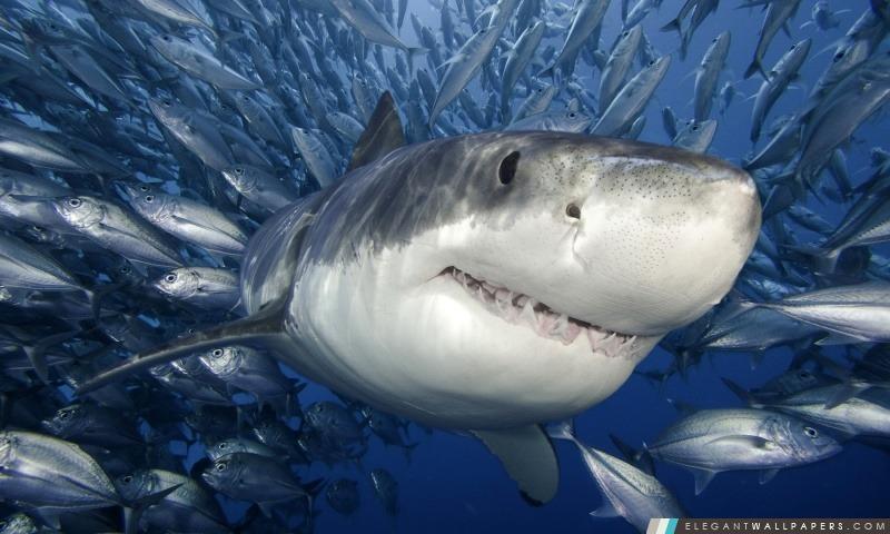 Grand requin blanc, Arrière-plans HD à télécharger