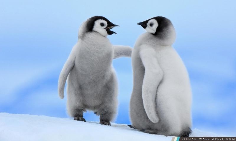 Bébé Penguins, Arrière-plans HD à télécharger