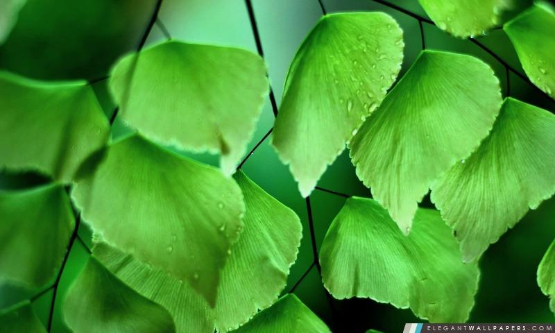 Adiantum macrophylla 2, Arrière-plans HD à télécharger