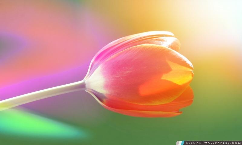 Tulip unique, Arrière-plans HD à télécharger