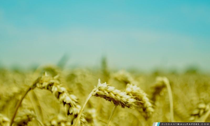 Oreilles de blé, Arrière-plans HD à télécharger