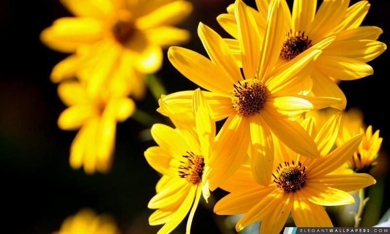 Fleurs jaunes Close Up, Arrière-plans HD à télécharger