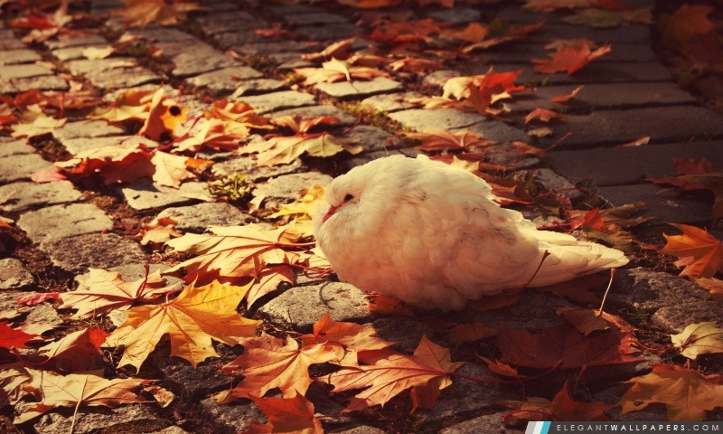 White Dove automne, Arrière-plans HD à télécharger