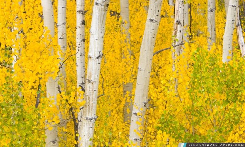 Trembles d'or, les montagnes Rocheuses, au Colorado, Arrière-plans HD à télécharger