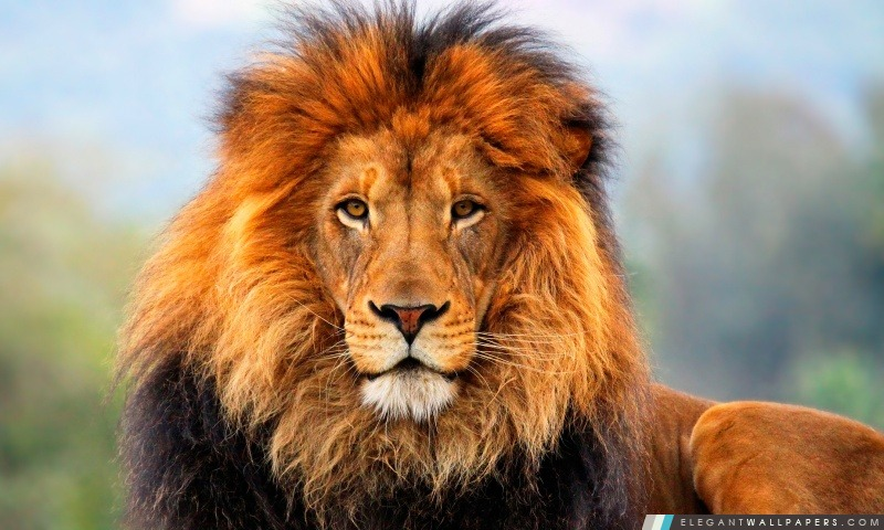 Lion, Arrière-plans HD à télécharger
