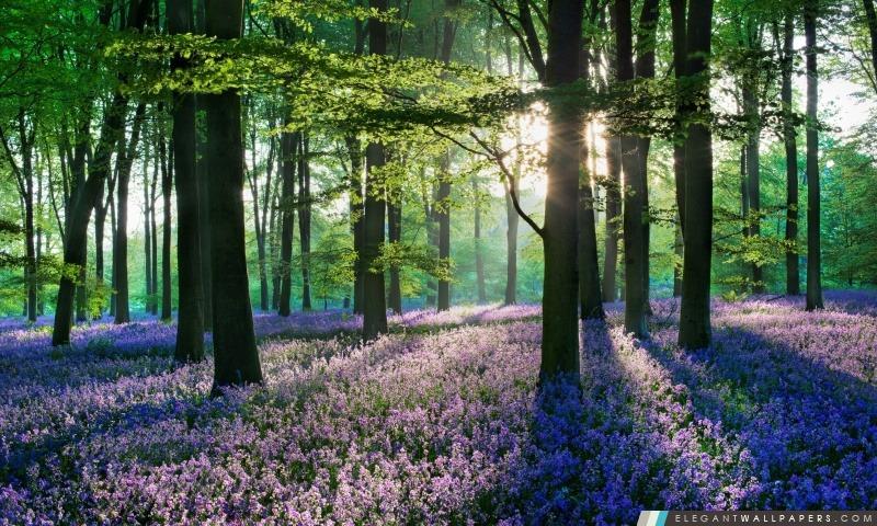 Violet Forêt Fleurs Champ, Arrière-plans HD à télécharger