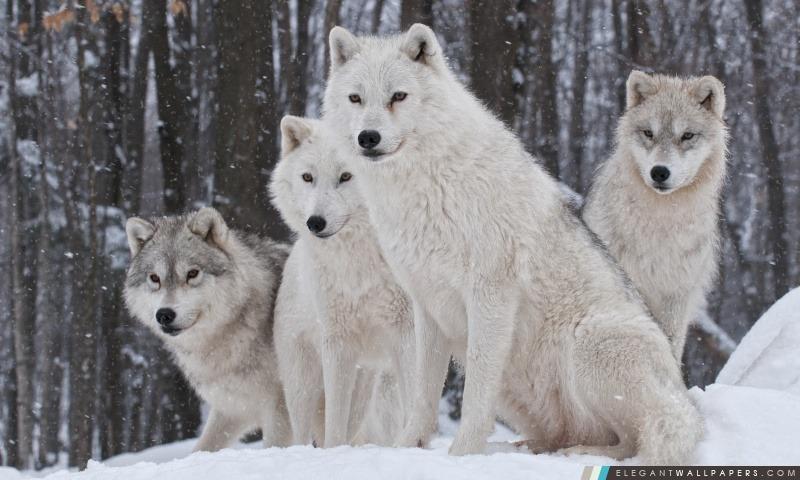 Loup Blanc Elegant Wallpapers