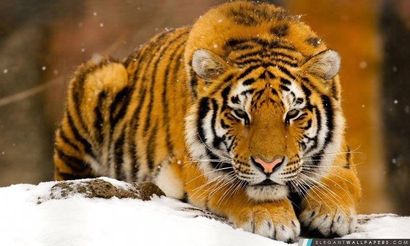 Tigre De Sib 233 Rie Dans La Neige Fond D 233 Cran Hd 224 T 233 L 233 Charger Elegant Wallpapers