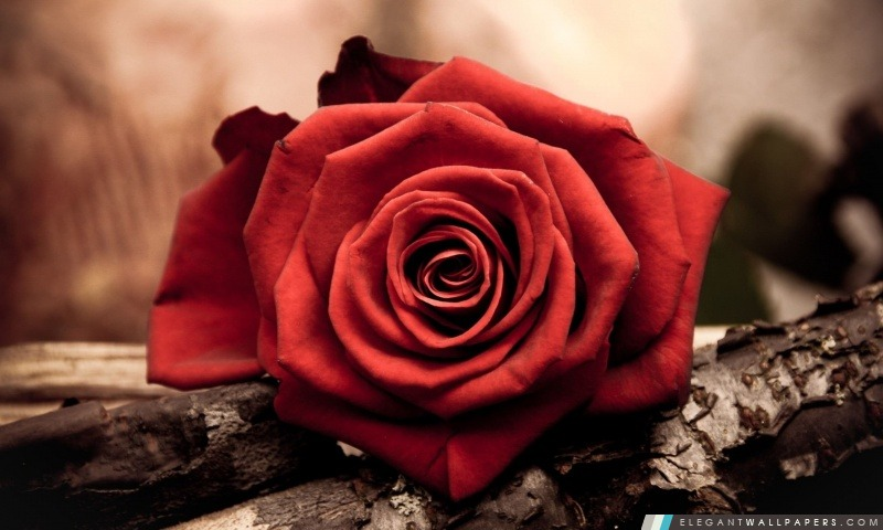 Saint Valentin Rose, Arrière-plans HD à télécharger