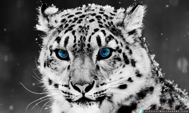 Snow Leopard – en noir et blanc Portrait, Arrière-plans HD à télécharger