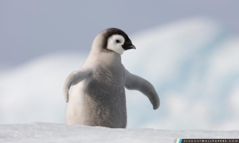 Baby Penguin, Antarctique, Arrière-plans HD à télécharger