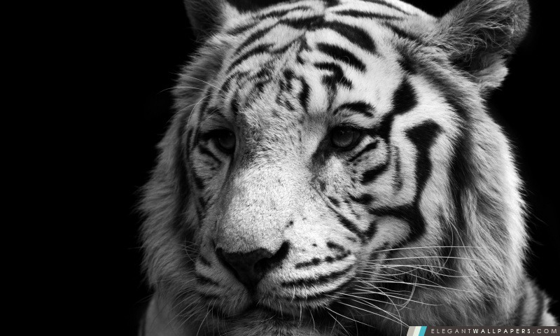 tiger en noir et blanc  fond d u0026 39  u00e9cran hd  u00e0 t u00e9l u00e9charger