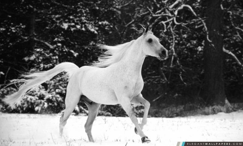 Courante de cheval blanc dans la neige, Arrière-plans HD à télécharger