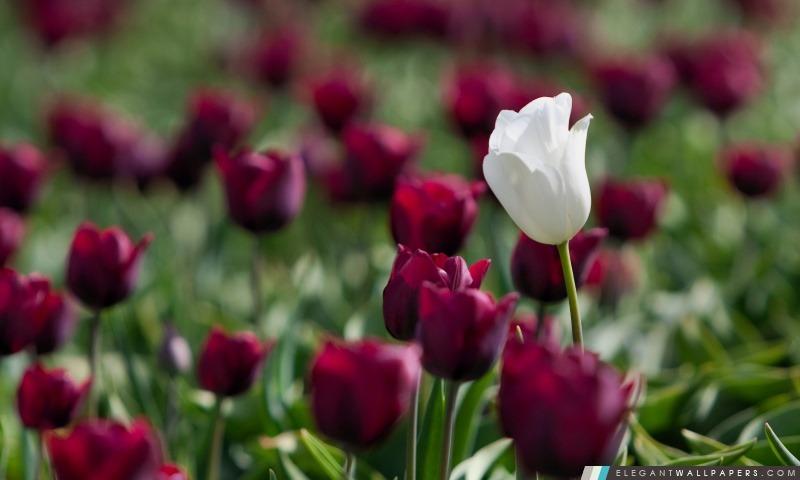 Violet Tulipes, Arrière-plans HD à télécharger