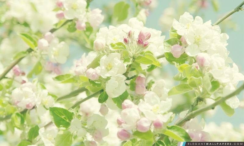 Pomme Fleurs de printemps, Arrière-plans HD à télécharger