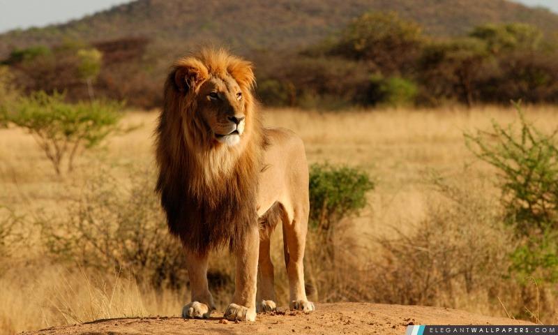 Roi de la jungle, Arrière-plans HD à télécharger