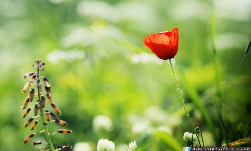 Red Poppy Close Up, Arrière-plans HD à télécharger