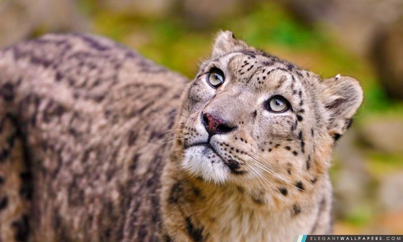 Snow Leopard Looking Up, Arrière-plans HD à télécharger