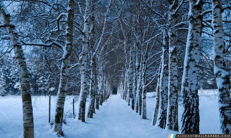 Bouleaux Alley, hiver, Arrière-plans HD à télécharger