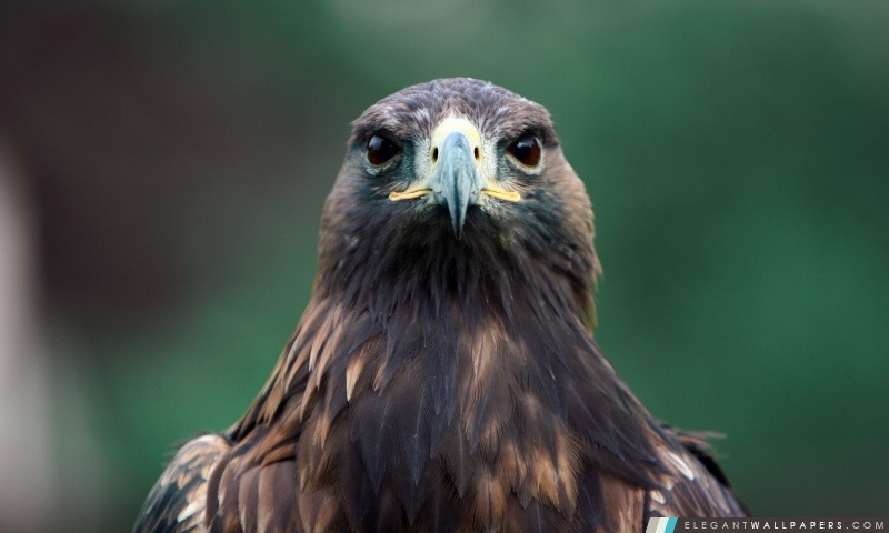 Oiseau De Proie Fond D Ecran Hd A Telecharger Elegant