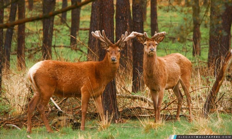 Red Deer Stags, Arrière-plans HD à télécharger