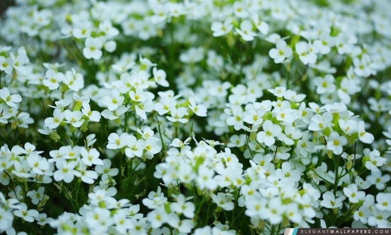 Jour Fleurs blanches de la mère, Arrière-plans HD à télécharger