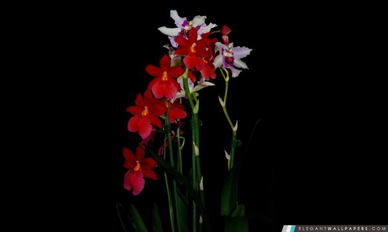Cambria orchidées, Arrière-plans HD à télécharger