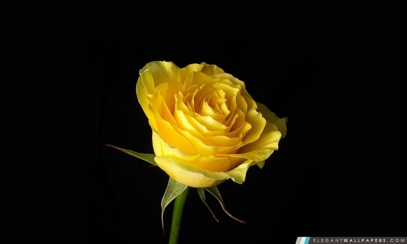 Rose jaune sur fond noir. Fond d'écran HD à télécharger   Elegant Wallpapers